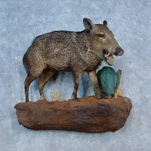 Collared Peccary Life-Size Taxidermy Mount For Sale