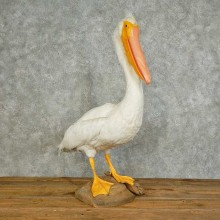 Pelican Replica Life-Size Taxidermy Mount For Sale