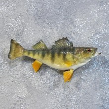 Yellow Perch Freshwater Fish Mount #10180 For Sale @ The Taxidermy Store