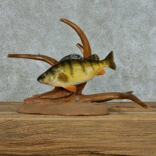 Swimming Perch Life Size Mount #13671 For Sale @ The Taxidermy Store