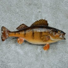 Perch Taxidermy Fish Mount #13336 For Sale @ The Taxidermy Store