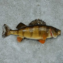 Perch Taxidermy Fish Mount #13333 For Sale @ The Taxidermy Store