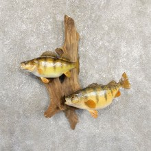 Perch Taxidermy Fish Mount #19708 For Sale @ The Taxidermy Store