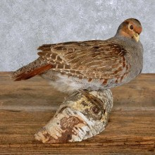 Standing Hungarian Grey Partridge Taxidermy Mount For Sale