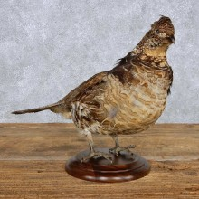 Standing Ruffed Grouse Taxidermy Mount For Sale