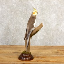 Perched Cockatiel Taxidermy Bird Mount For Sale
