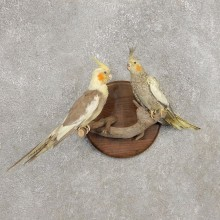 Perched Cockatiel Pair Mount For Sale #21266 @ The Taxidermy Store