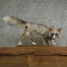 Pearlitina Fox Life-Size Taxidermy Mount For Sale