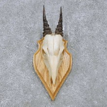 Peters Duiker Skull & Horn European Mount For Sale #14514 @ The Taxidermy Store