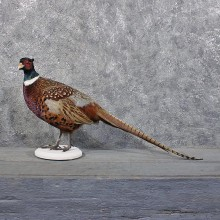 Ringneck Pheasant Bird Mount #11846 For Sale @ The Taxidermy Store