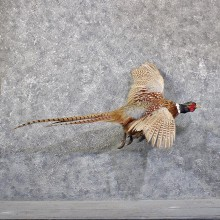 Ringneck Pheasant Bird Mount #11850 For Sale @ The Taxidermy Store