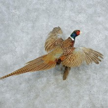 Flying Ringneck Pheasant