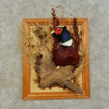 Ringneck Pheasant Pair Taxidermy Bird Mount For Sale