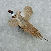 Flying Ringneck Pheasant Mount