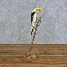 Perched Piebald Cockatiel Taxidermy Bird Mount For Sale