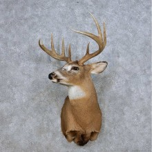 Piebald Whitetail Deer Taxidermy Shoulder Mount For Sale #14080 @ The Taxidermy Store