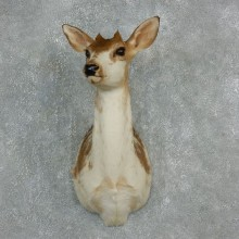 Piebald Whitetail Nubby Shoulder Taxidermy Mount For Sale