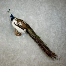 Indian Pied Peacock Taxidermy Bird Mount For Sale