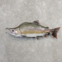 Pink Salmon Taxidermy Fish Mount For Sale #21101 @ The Taxidermy Store