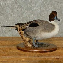 Pintail Duck Taxidermy Bird Mount For Sale