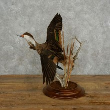 Pintail Duck Taxidermy Bird Mount For Sale #17385 @ The Taxidermy Store