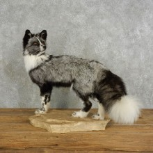 Platinum Fox Life-Size Taxidermy Mount For Sale
