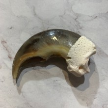 Polar Bear Claw Taxidermy For Sale #20654 @ The Taxidermy Store