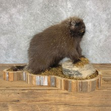 Porcupine Life-Size Mount For Sale #22367 @ The Taxidermy Store