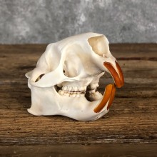 Porcupine Skull Mount For Sale #19855 @ The Taxidermy Store