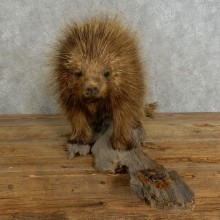 Standing Porcupine Mount #17215 For Sale @ The Taxidermy Store