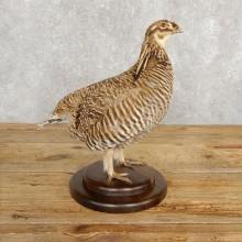 Prairie Chicken Bird Mount For Sale #20242 @ The Taxidermy Store