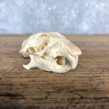 Prairie Dog Full Skull Taxidermy Mount #19832 For Sale @ The Taxidermy Store