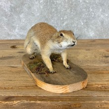 Prairie Dog Life-Size Taxidermy Mount #21492 For Sale @ The Taxidermy Store