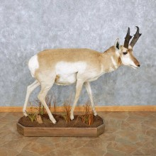 Pronghorn Antelope Life Size Taxidermy Mount For Sale #13938 For Sale @ The Taxidermy Store