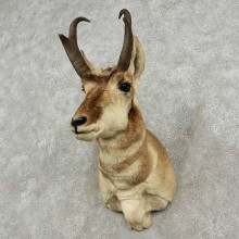 Pronghorn Antelope Shoulder Mount For Sale #20143 @ The Taxidermy Store