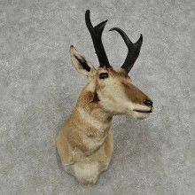 Pronghorn Antelope Shoulder Mount For Sale #16915 @ The Taxidermy Store