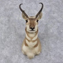 Pronghorn Antelope Taxidermy Shoulder Mount #12482 For Sale @ The Taxidermy Store