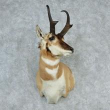 Pronghorn Antelope Shoulder
