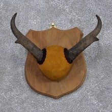 Pronghorn Antelope Taxidermy Horn Plaque #12382 For Sale @ The Taxidermy Store