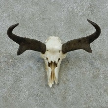 Pronghorn Skull & Horns European Mount #13586 For Sale @ The Taxidermy Store