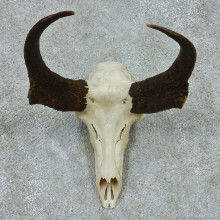 Pronghorn Skull Horns European Mount #13651 For Sale @ The Taxidermy Store