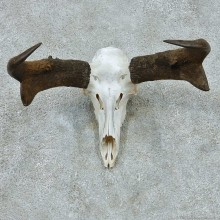 Pronghorn Skull European Taxidermy Mount For Sale