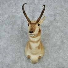 Pronghorn Taxidermy Head Mount #12853 For Sale @ The Taxidermy Store