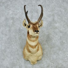 Pronghorn Taxidermy Head Mount #12855 For Sale @ The Taxidermy Store.jpg