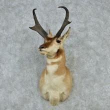 Pronghorn Antelope Shoulder Mount