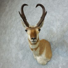 Pronghorn Antelope Shoulder Mount For Sale #18507 @ The Taxidermy Store