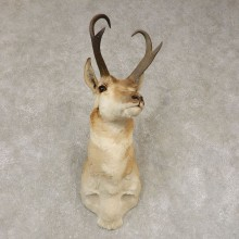 Pronghorn Antelope Shoulder Mount For Sale #21442 @ The Taxidermy Store