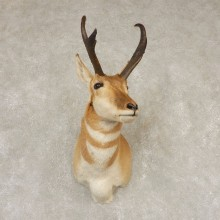 Pronghorn Antelope Shoulder Mount For Sale #21597 @ The Taxidermy-Store
