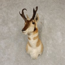 Pronghorn Antelope Shoulder Mount For Sale #21598 @ The Taxidermy-Store