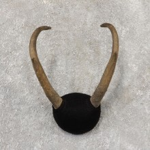 Pronghorn Taxidermy Horn Mount #19033 For Sale @ The Taxidermy Store